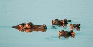 Hipopótamos en las aguas del lago Nukuru