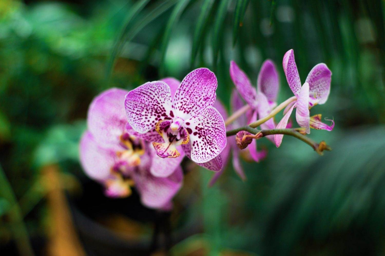 Una flor de orquídea, típica en Tailandia